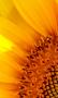Скачать Sunflower Wallpapers
