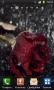 Скачать Роза под дождем